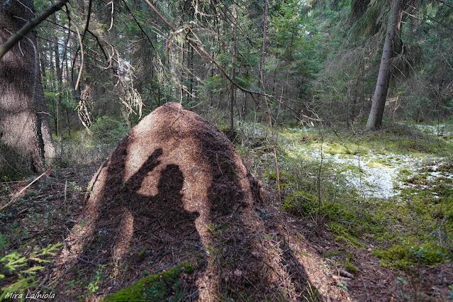Naisen varjo peilautuu muurahaispesään Kasakallion metsässä