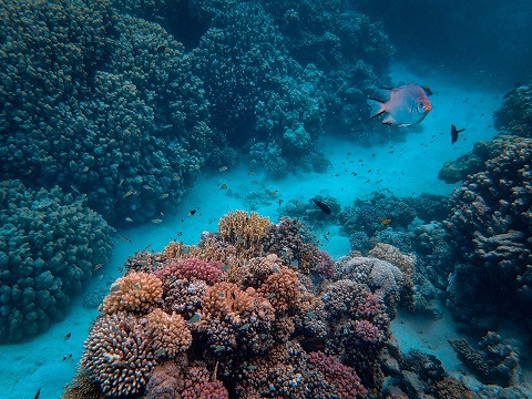 المرجان