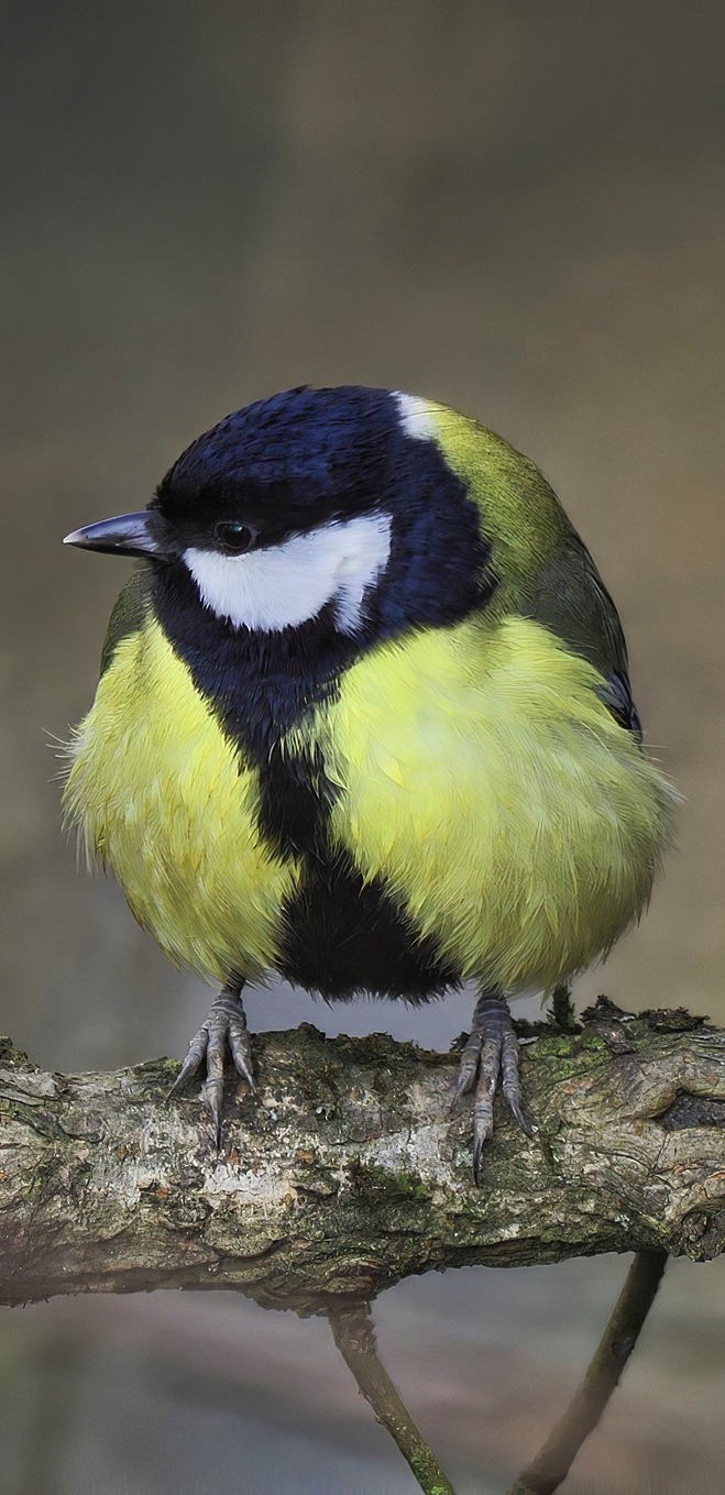 Cute great tit.