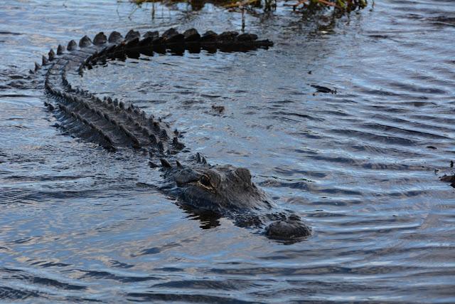 Everglades Rivers alligator