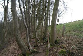Schmale, schlanke Bäume durch die ein Trampelpfad führt. Wurzeln sind zu erkennen. Rechts neben den Bäumen geht eine Weide bergauf.