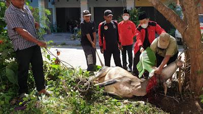 Peringati Hari Raya Idul Adha, DPC dan Fraksi PDI Perjuangan DPRD Simalungun Sembelih Hewan Kurban