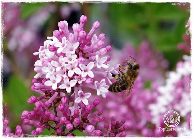 Gartenblog Topfgartenwelt Buchtipp Makrofotografie - die große Fotoschule: Makrofotografie Einstellungen - Biene auf Flieder