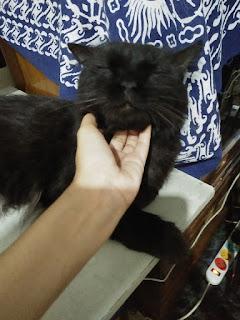 kucing persia hitam