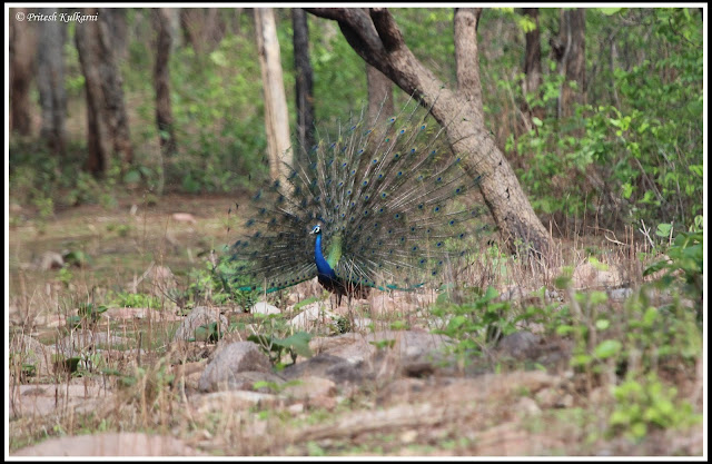 Danceing Indian peafowl at Tadoba