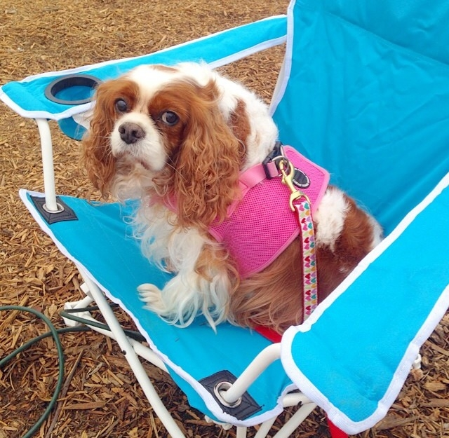 Blenheim Cavalier King Charles Spaniel in lounge chair