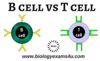 B cells and T cells