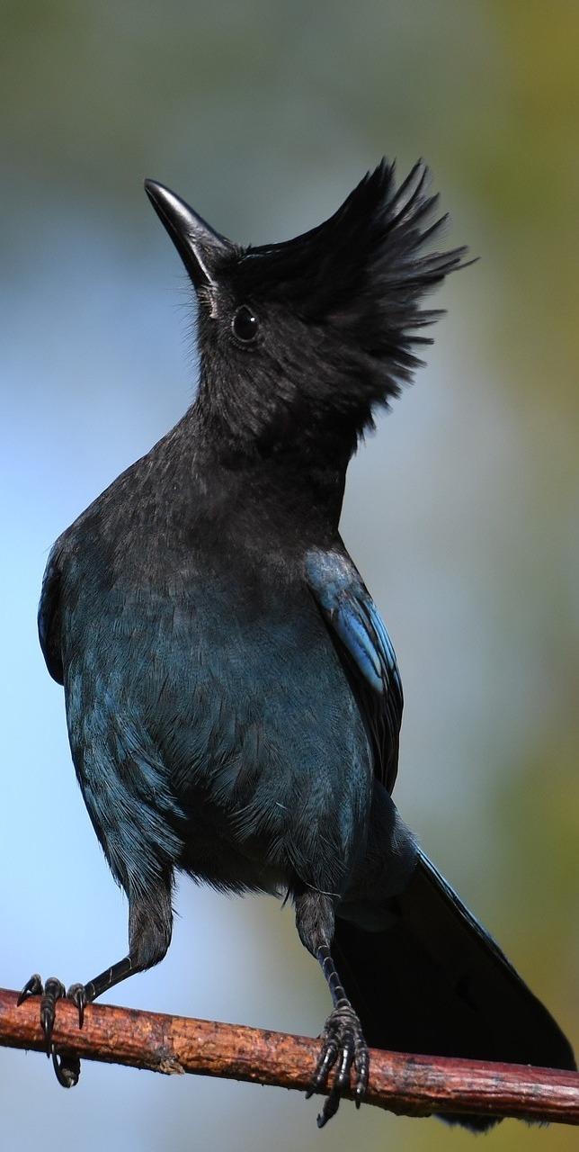 Steller jay bird.