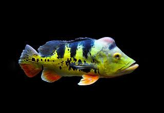 Peacock Bass Monoculus Dewasa
