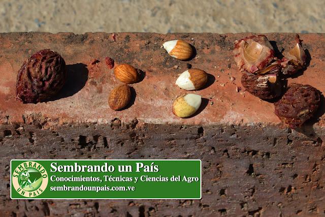 semilla del durazno