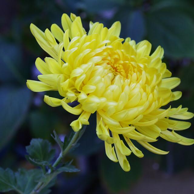 cach trong hoa cuc vang