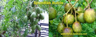 Cough use Spondias dulcis