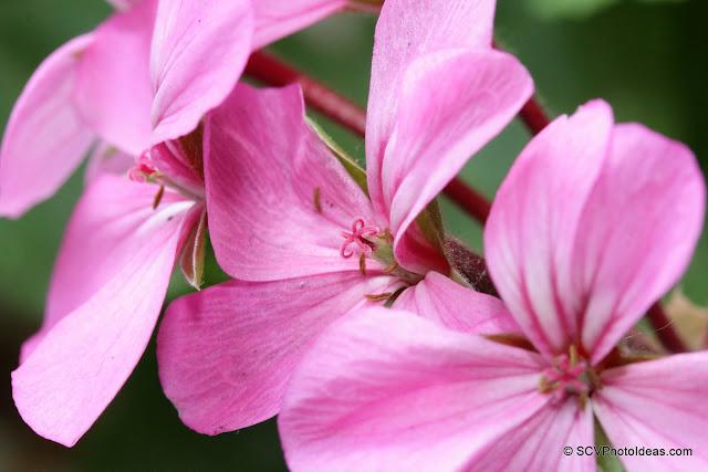 Pink Geranium closeup 1
