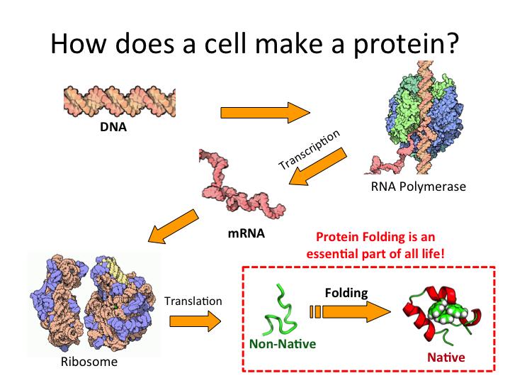 make a protein  Th...
