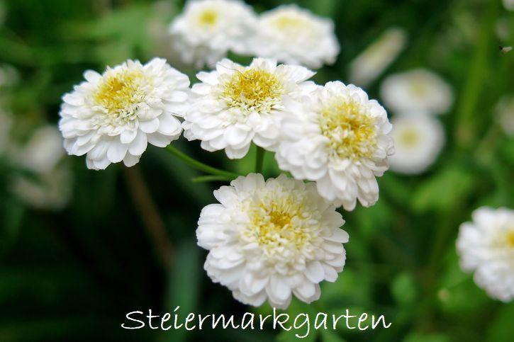 Mutterkraut-Steiermarkgarten