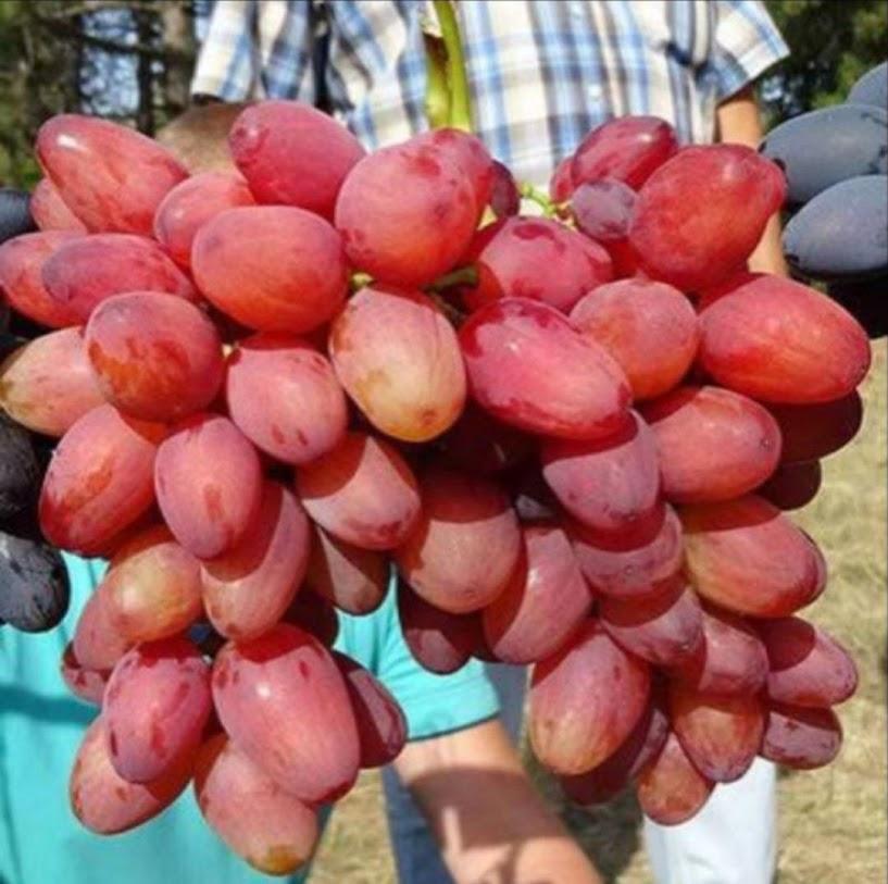 bibit anggur import bogema Kalimantan Timur