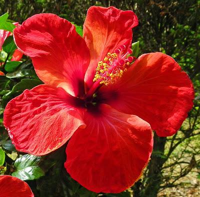 hibiscus rosa sinensis the garden of eaden. Black Bedroom Furniture Sets. Home Design Ideas