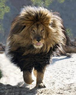 León grande