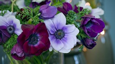 Anemone coronaria (anemona de florista), una mediterránea en el jardín (y el jarrón)