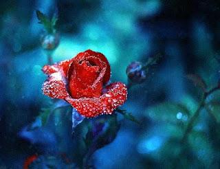 Rosas Rojas sobre fondo azul