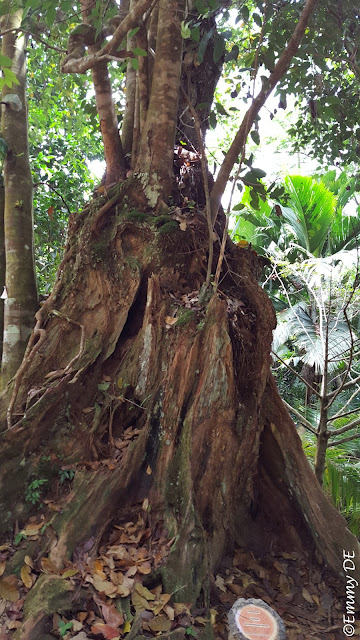 Old Cinnamon Tree @ the mission ruins of Venn's Town ~ Mahé ~ Seychelles by ©Emmy DE