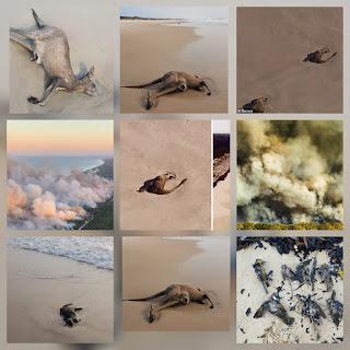 VIDEO: mas de 40 canguros murieron en australia por los incendios forestales.