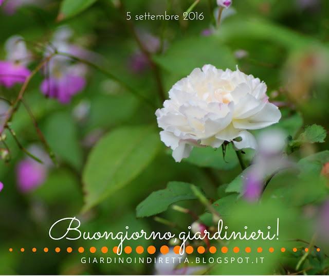 rosa winchester cathedral - il giardino dalla A alla Z -  i fiori della settimana - un giardino in diretta