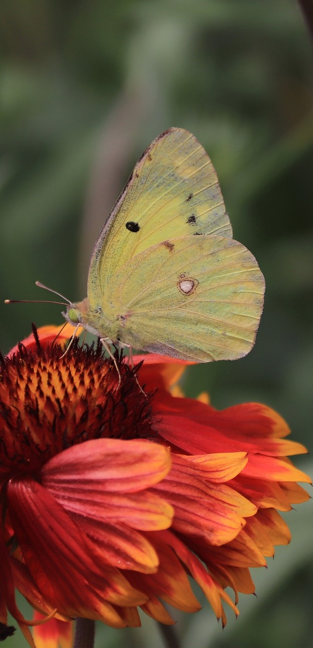 Butterfly on an orange flower.