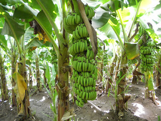 banana plantation where charm are buried