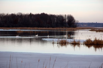 December swans, 2015