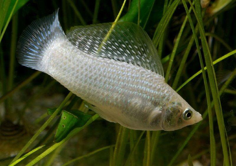 Gambar Ikan Hias Aquarium Tanpa Oksigen - Ikan Molly