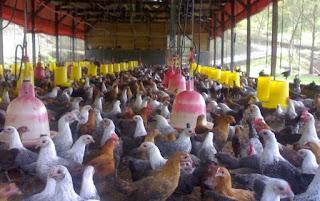 Ternak-Ayam-Arab