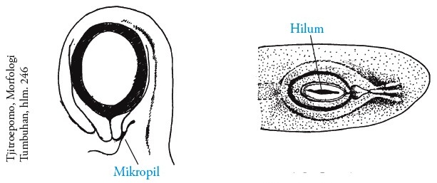 struktur ovarium