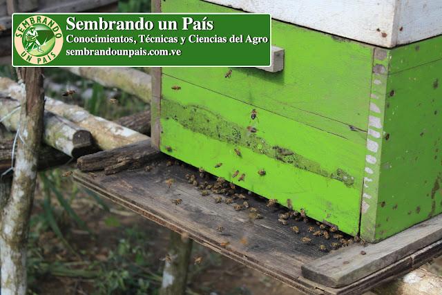 abejas llegando a la colmena