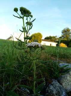 flower in the grass, house in the background
