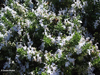 Melliferous flowers with bees - Wellington Botanic Garden, New Zealand