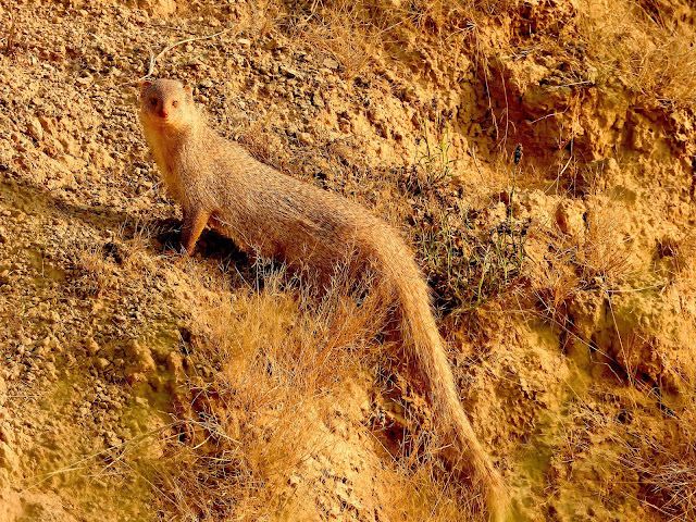 Indian Mongoose on Chambal