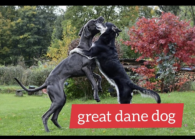 Information about the great Danish dog, great dane adoption
