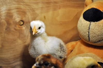 белый цыпленок 9 дней