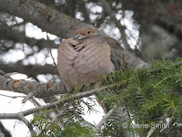 Mourning Dove fluffing its feathers to keep warm – Summerside, PEI – Feb. 18, 2018 – Marie Smith