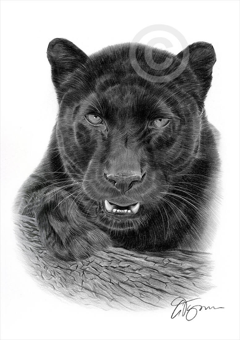 01-Black-Panther-Gary-Tymon-Wildlife-and-Domestic-Animal-Pencil-Drawings-www-designstack-co