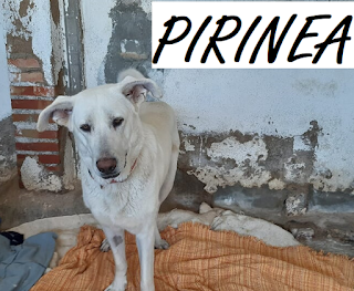 https://abydajaenblog.blogspot.com/2020/05/pirinea-en-acogida-o-adopcion.html
