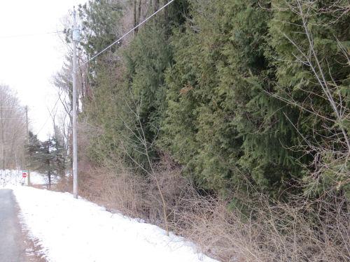 line of white cedar