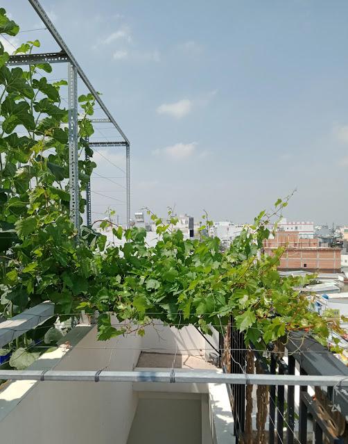 Giàn nho giống Ninh Thuận được bố trí tại nơi có nhiều ánh nẵng