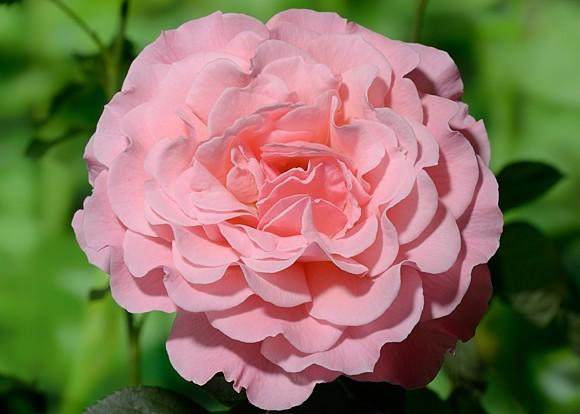 Tickled Pink rose сорт розы фото