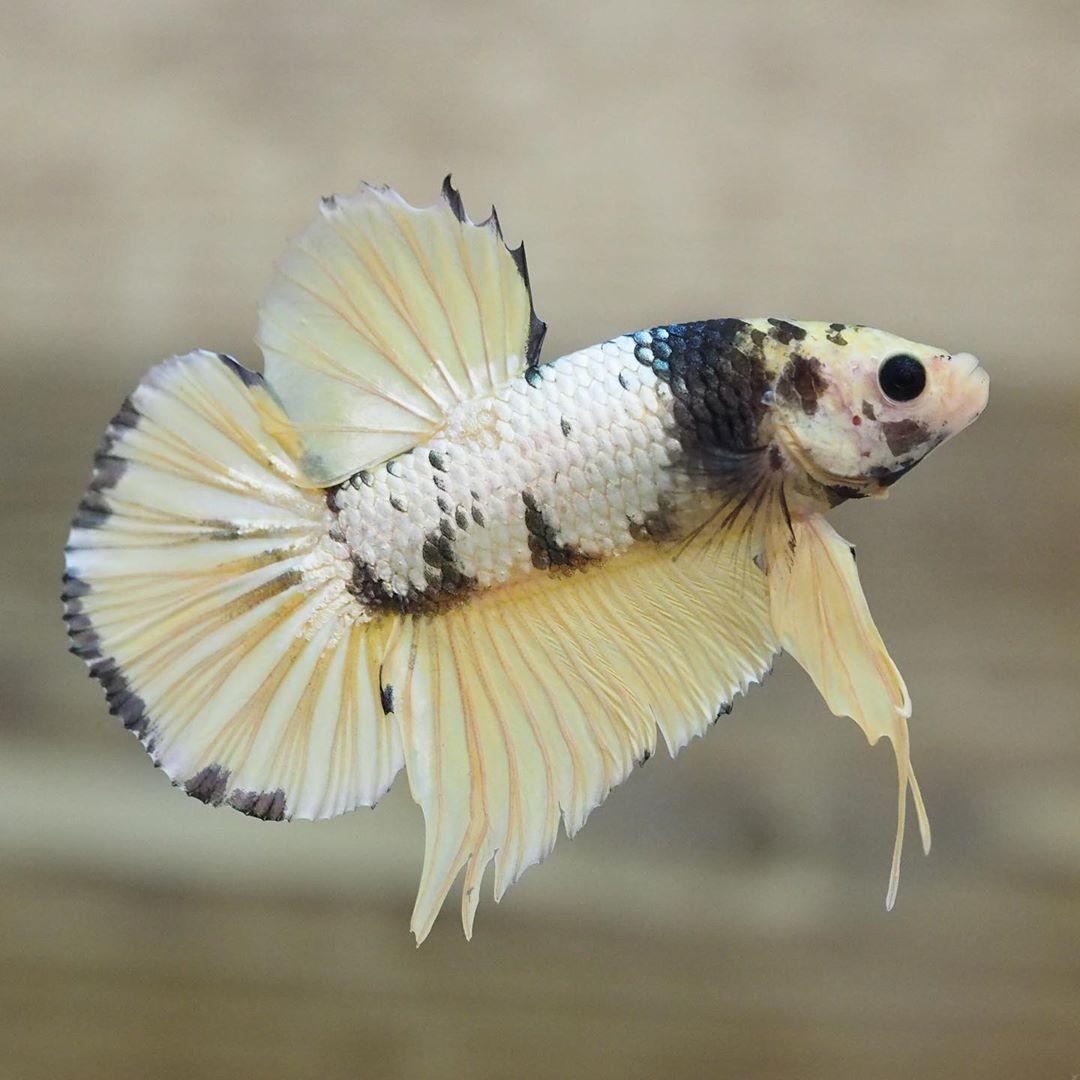 A Wondrous Live Male Halfmoon Plakat Hmpk Tail Yellow Dragon Tiger Betta Fish Fish Tank Live