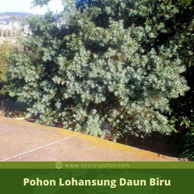 Ciri Ciri Pohon Lohansung Daun Biru