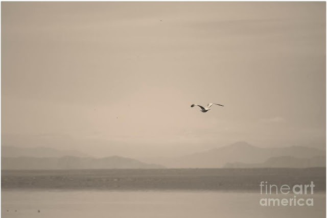 Seagull Flying Over The Salton Sea In Sepia