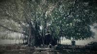 Northern Territory BIG Things | BIG Banyan Tree in Mataranka