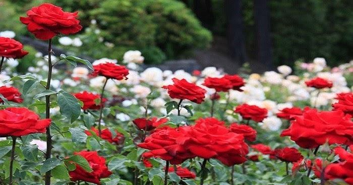 Contoh Deskripsi Singkat Bunga Mawar Dalam Bahasa Inggris Dan Artinya Bahasa Inggris Xyz